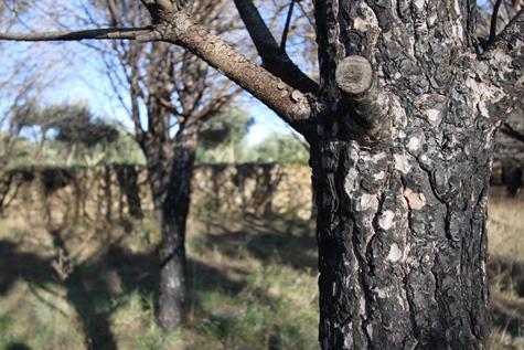 ajuts gestió forestal Pi cremat