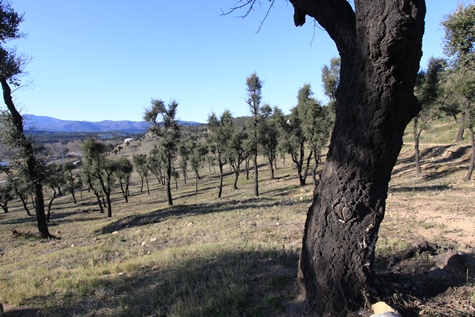 ajuts gestió forestal suros cremats capmany